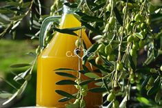 #Taggiasca #Oliveoil just arvested in our orchard in #Liguria. You can buy it online on our  website http://www.cuvea.co.uk/