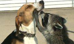 Price the Beagle visited with the grandparents' pet raccoon, Oscar, who in typical raccoon fashion, foraged for scraps of food.