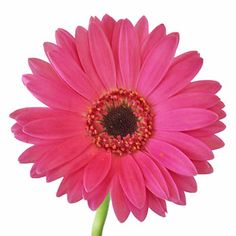 FiftyFlowers.com - Shimmering Pink Mini Gerbera Daisies