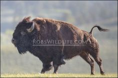 Bison Print : Yellowstone Buffalo Print, Buffalo Photography Print Art