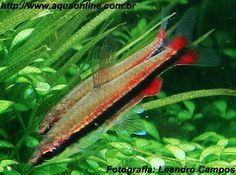 Nome científico:Nannostomus beckfordi  Nome popular (BR):Zepelim Dourado, Peixe Lápis