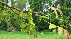 Walnut (Nogal) Flores de Bach