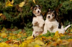 Two Adorable Little Biewer Terrier Puppies playing amongst the Autumn Leaves in the Woods