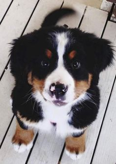 New Cost-Free bernese mountain dogs accessories Thoughts More than a long time, your Bernese Pile Doggy is a huge basis with farmville farm lifestyle with Switzerland. Baby Animals Pictures, Cute Animal Pictures, Puppy Pictures, Cute Dogs Breeds, Cute Dogs And Puppies, Dog Breeds, Doggies, Cutest Dogs, Cute Dog Mixes