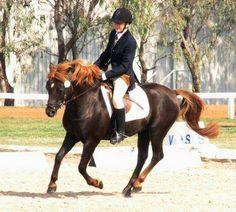 flaxen liver chestnut - New Forest Pony stallion Erinskay Peveril