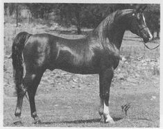 LEWISFIELD MAGIC #28001 (Indian Magic x *Michelia, by Count Orlando) 1964 chestnut stallion bred by Mrs EM Thomas; imported to the US en utero by James F Lewis Jr/ Lewisfield Farm Arabians. Sired 132 registered purebreds.
