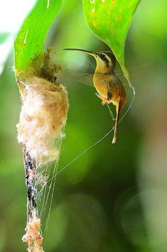 Hummingbird builds a nest using spider webs.