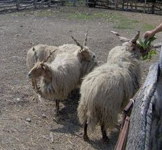 **Racka and Shetland Sheep; Sheep 4 Every One In Every Color **
