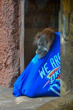 "From the OKC Zoo, via Twitter: ""Toba, Sumatran orangutan loves her #okcthunder threads."""
