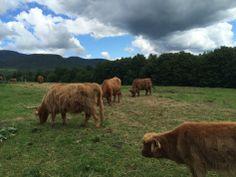 Au Diable Vert, Sutton, Cantons-de-l'Est Canton, Cow, Animals, Devil, Paisajes, Green, Photography, Animales, Animaux