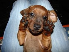 Why Dachshund Puppies Should Be Your New Favorite Puppies