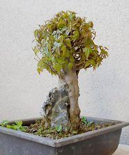 bonsai acer buergerianum sur roche erable trident