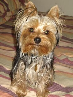 Pictures of Yorkshire Terrier Dog Breed #yorkshireterrier #DogRazas
