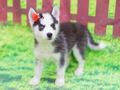 People oftentimes want something that can suit in their family a pet that could become a perfect indoor companion and there is one breed that is capable and its name is miniature husky. Miniature Husky For Sale, Miniature Dogs, Cavapoo Puppies, Tiny Puppies, Siberian Husky Dog, Husky Puppy, Husky Mix, Husky Breeds, Dog Breeds
