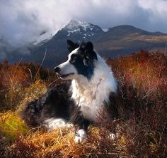 "Collie in the Cuillins - Skye, Scotland. The Border Collie originated in the border country between Scotland and England. Formerly called the ""Scotch Sheep Dog"""