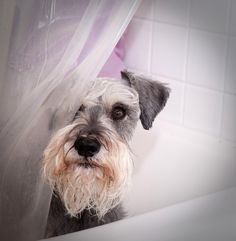 A Little Privacy Please! by SG Callaway #Miniature #Schnauzer