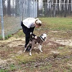Pictures of Garrett a Pit Bull Terrier for adoption in Henderson, NC who needs a loving home.