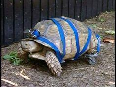 Handicapt_turtle_on_wheels