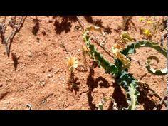 Dipcadi crispum - rare African bulbs Bulbs, Vineyard, African, World, Youtube, Outdoor, Plant, Lightbulbs, Outdoors