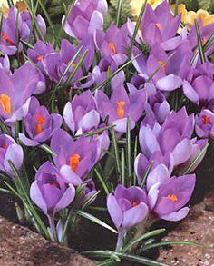 Whitewell Purple Species Crocus