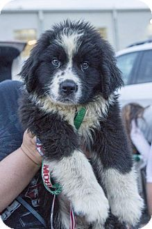 9//5/16 St. Louis Park, MN - Bernese Mountain Dog/Newfoundland Mix. Meet Dakota, a puppy for adoption. http://www.adoptapet.com/pet/16543396-st-louis-park-minnesota-bernese-mountain-dog-mix