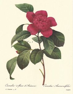 Red Camelia, a Pierre Redoute Botanical Print,  -this is a good source for printable botanical art, vintage illustrations, maps, and digital supplies.