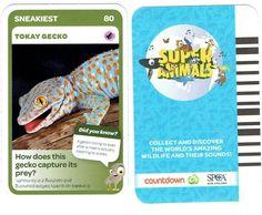 80 Tokay Gecko