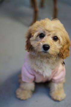 Puppy Cavoodle <3