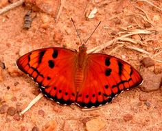 Baronet Euthalia nais is a beautiful red-colored butterfly that can be found in India and other South Asian countries.