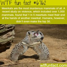 Meerkats facts - WTF fun fact But they are so cute! Wierd Facts, Weird But True, Wtf Fun Facts, True Facts, Funny Facts, Funny Jokes, Crazy Facts, Random Facts, Fun Facts About Animals