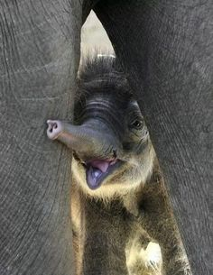 Awww... Baby elephant playing hide + seek with mom! giggle! <3
