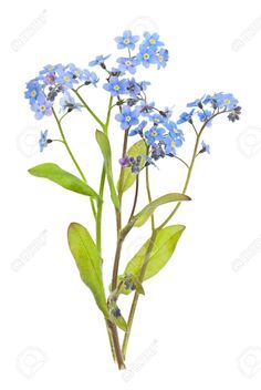 13558496-Arrangement-of-forget-me-not-flowers-with-leaves-isolated-on-white-background-Stock-Photo.jpg (870×1300)