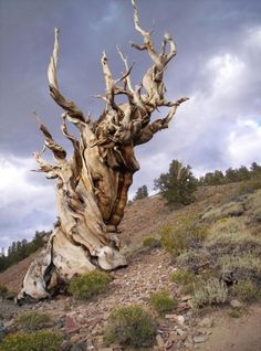 METHUSELAH - known as the worlds oldest tree at 4,768 years old!  It is a Great Basin Bristlecone Pine Tree growing high in the White Mountains of Inyo County in eastern California.