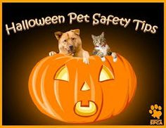 Talk to the kids about keeping their Halloween treats safely out of reach of all pets this coming holiday. Designate an area where their loot must be stashed to avoid an accidental overdose of goodies and make sure everyone in the family or guests understand that sweets are not treats for animals. #nocandyforpets #Halloween #petsafety