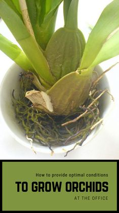 [orginial_title] – Erdin Erolin Learn how to water your orchids correctly – 9 good to know tips. Learn how to water your orchids correctly – 9 good to know tips. Water Culture Orchids, Orchids In Water, Orchids Garden, Garden Plants, Orchid Plant Care, Orchid Plants, All Plants, Indoor Plants, Inside Plants