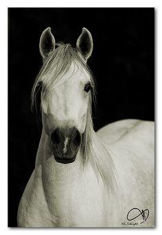Equine love....Arabian Horse by AL-Tubaiykh