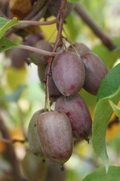 Grape Kiwi Purpurna, The Actinidia arguta mini kiwi, red flesh