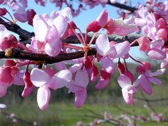 Redbud Tree Pictures: tree category contains photos of red bud trees, facts on each tree category, we have many beautiful Redbud tree images