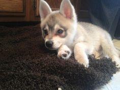 Alaskan Klee-Kai puppy