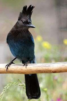 Steller's jay (Cyanocitta stelleri) Also known as the long-crested jay, mountain jay, and pine jay