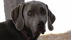 The inquisitive look of the Weimaraner.  Such a GREAT dog!