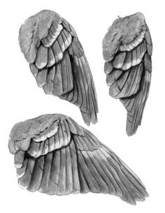 From: The Laws Guide to Drawing Birds - John Muir Laws Feather Drawing, Wings Drawing, Drawing Birds, John Muir, Animal Sketches, Animal Drawings, Bird Sketch, Bird Wings, Realistic Drawings