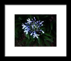 Phlox Shadow - Framed Print  This would look amazing with a light purple frame!!!
