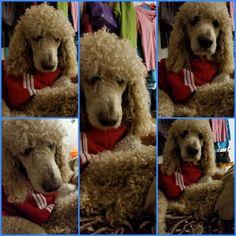 Looks like my poodle Sunny.