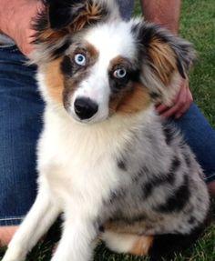 Miniature Australian Shepherd - Blue Merle