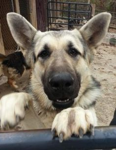 Dogs] Breed: German Shepherd Dog, Gender: Female, Age: Young, AKC ...