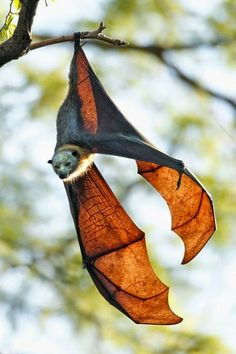 A bat is a nocturnal animal. It is a mammal, not a bird. There are about 2000 species of bats and this is a fruit bat which is NOT nocturnal by nature. Nature Animals, Animals And Pets, Cute Animals, Wild Animals, Creatures Of The Night, All Gods Creatures, Amazing Animals, Animals Beautiful, Murcielago Animal