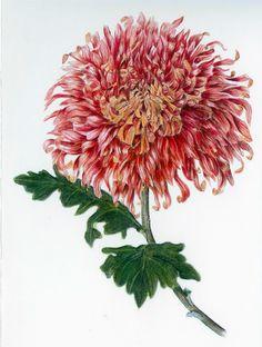 Vintage Botanical Prints, Botanical Art, Botanical Illustration, Chrysanthemum Drawing, September Flowers, Science Illustration, Flower Art, Art Flowers, Healing Herbs