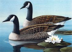 Geese---The only major difference between a duck and a goose is structural. Most geese are often bigger in size than ducks. There is also a difference in the migratory habits of the two birds as geese migrate further and longer than ducks.