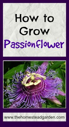 How to Grow Passionflower. This perennial is amazing. It does not flower profusely, but each flower is mesmerizing!